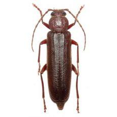 Longhorn beetle - Spondylidinae - Arhopalus rusticus ...